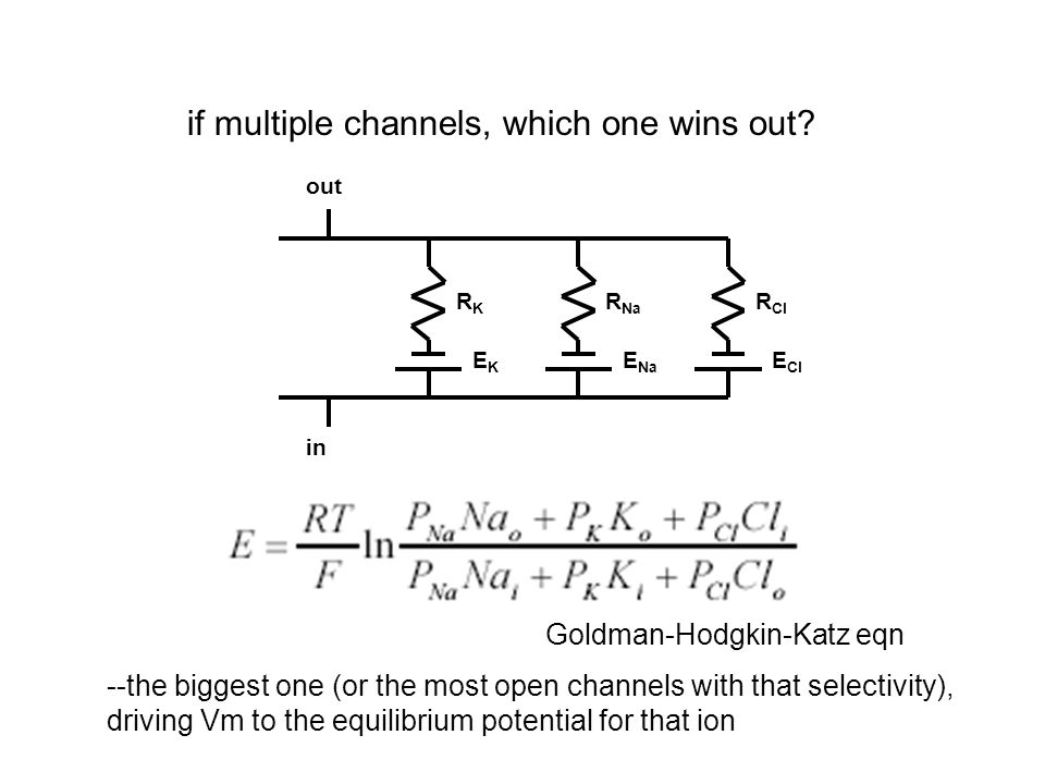 channels selective for different ions control Vm K + channels drive cell to E K Na + channels drive cell to E Na equal numbers of K + and Na + channels drive cell to potential between E K and E Na (GHK eqn) --calculate Erev (reversal potential) for p K 0.5, p Na 0.5 channels equally selective for K + and Na + also drive cell to potential between E Na and E K ionic selectivity determines Vm how can K + channels distinguish between cations.