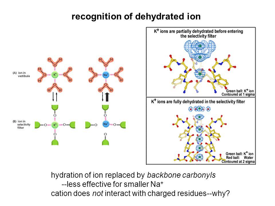 Na + channel smaller ion bigger pore Na + permeates semi-hydrated (Payandeh et al., 2011)