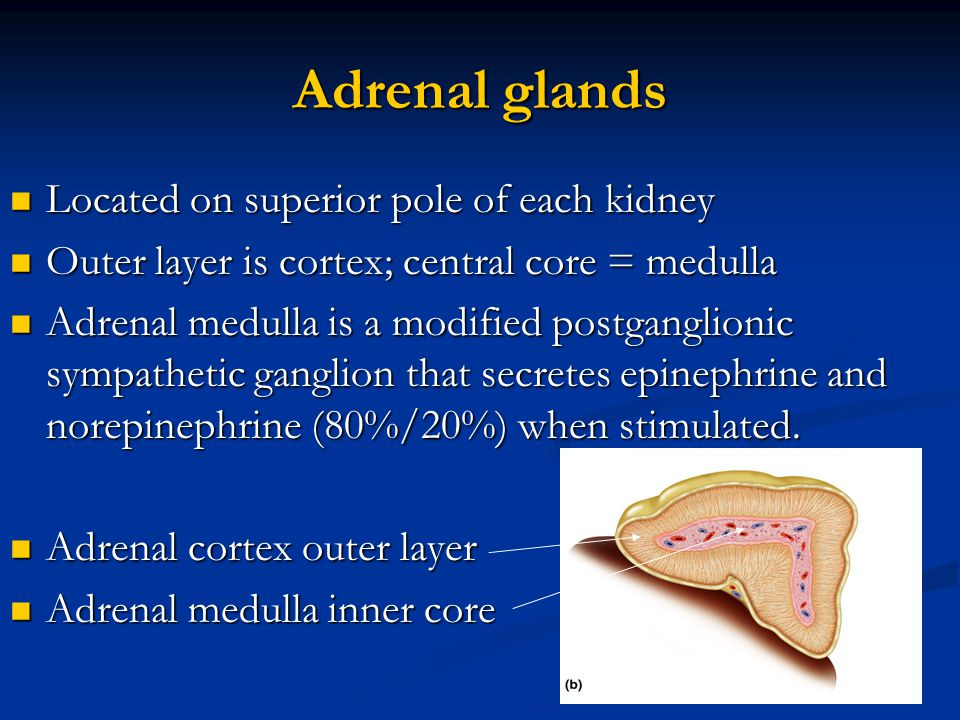 Adrenal glands Located on superior pole of each kidney Located on superior pole of each kidney Outer layer is cortex; central core = medulla Outer lay