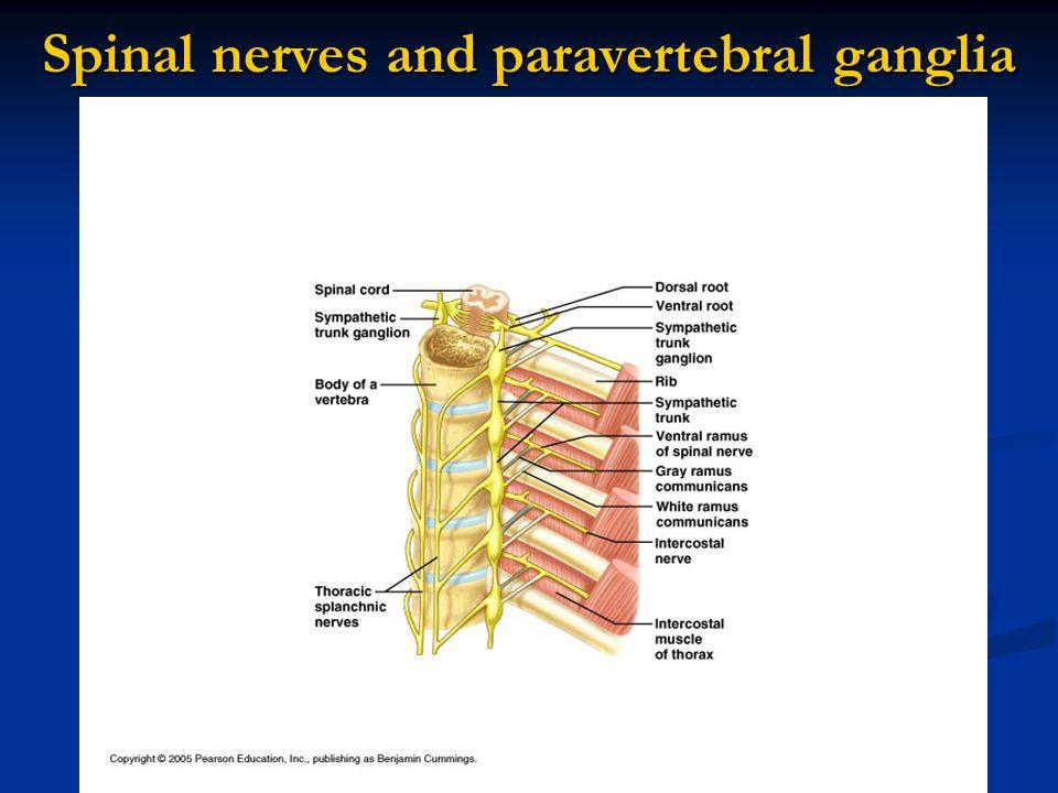 Spinal nerves and paravertebral ganglia