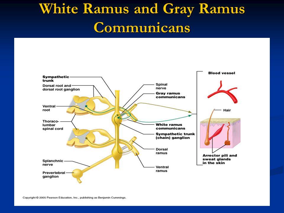 White Ramus and Gray Ramus Communicans
