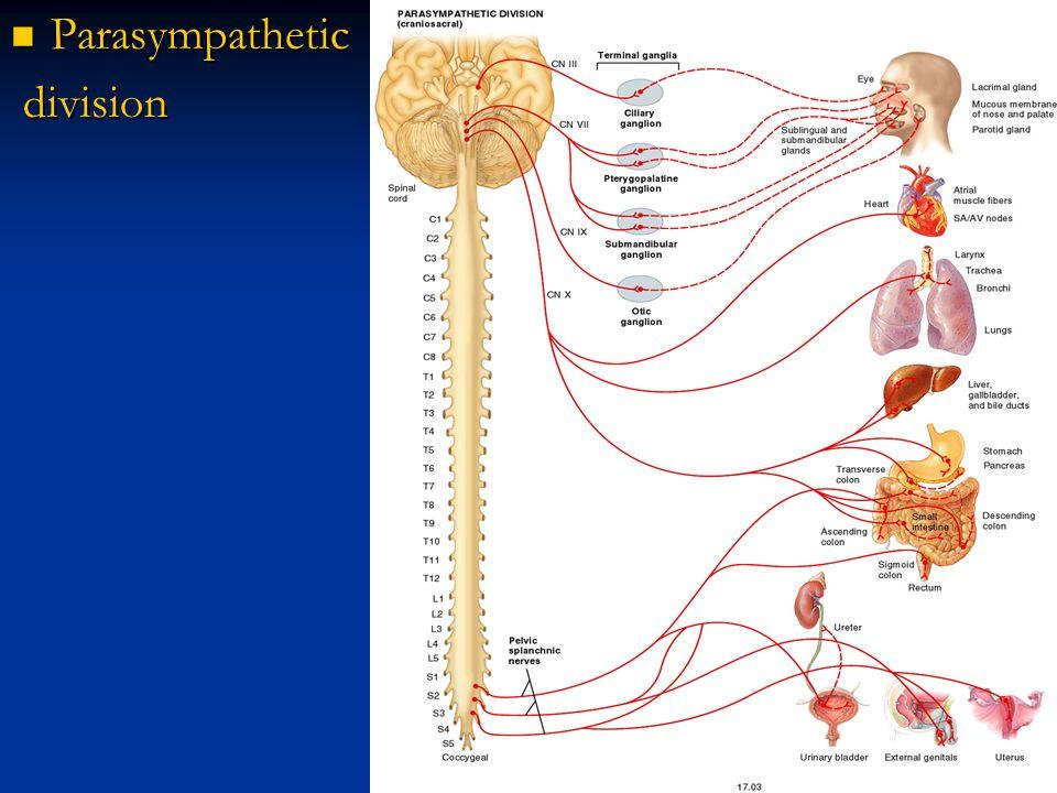 Parasympathetic Parasympathetic division division