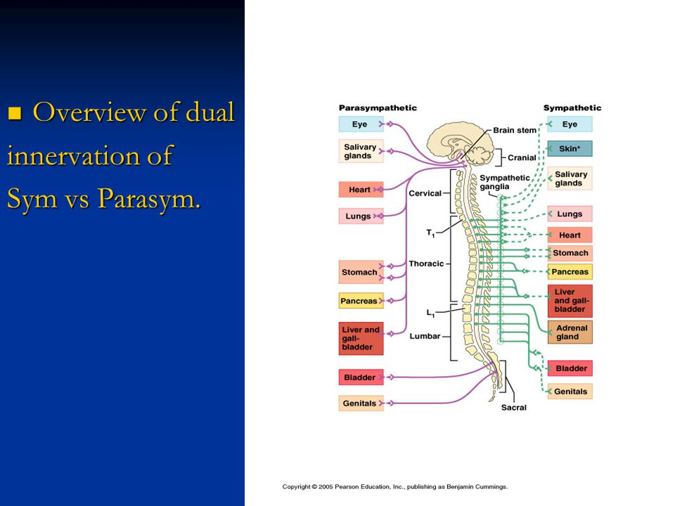 Overview of dual Overview of dual innervation of Sym vs Parasym.