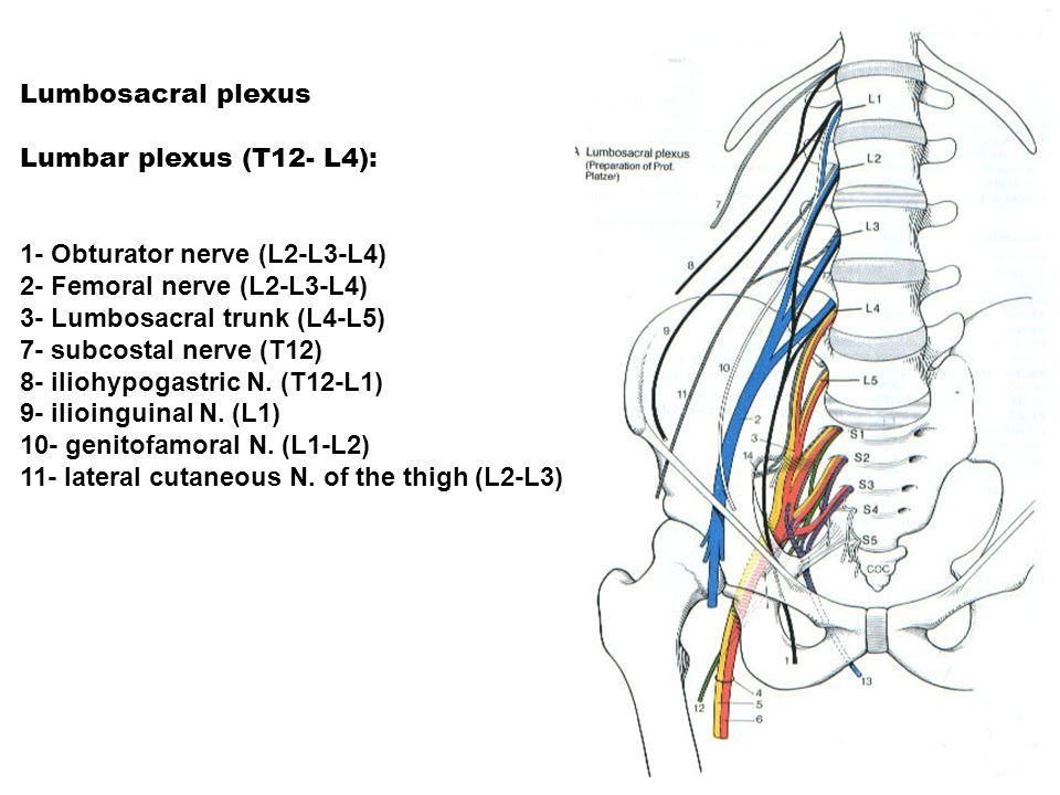 Lumbosacral plexus Lumbar plexus (T12- L4): 1- Obturator nerve (L2-L3-L4) 2- Femoral nerve (L2-L3-L4) 3- Lumbosacral trunk (L4-L5) 7- subcostal nerve