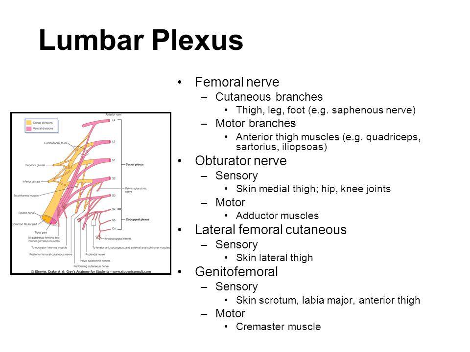 Lumbar Plexus Femoral nerve –Cutaneous branches Thigh, leg, foot (e.g. saphenous nerve) –Motor branches Anterior thigh muscles (e.g. quadriceps, sarto