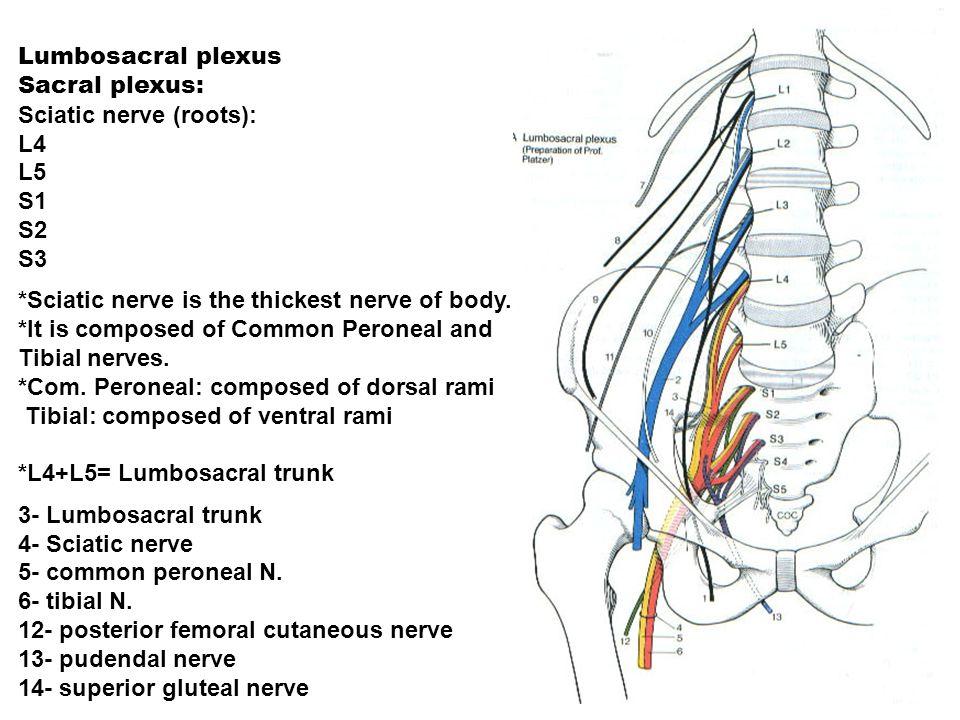 Lumbosacral plexus Sacral plexus: Sciatic nerve (roots): L4 L5 S1 S2 S3 *Sciatic nerve is the thickest nerve of body. *It is composed of Common Perone