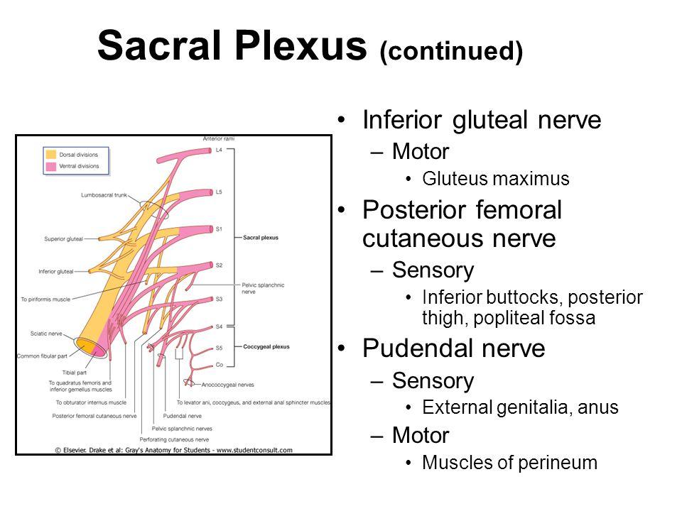Sacral Plexus (continued) Inferior gluteal nerve –Motor Gluteus maximus Posterior femoral cutaneous nerve –Sensory Inferior buttocks, posterior thigh,