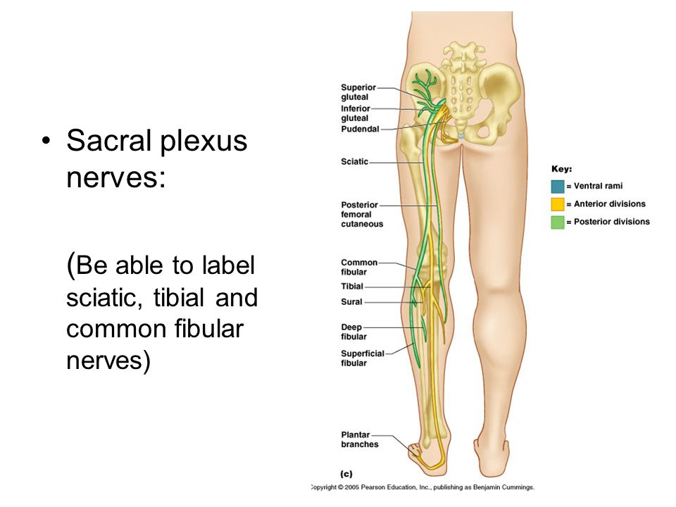 Sacral plexus nerves: ( Be able to label sciatic, tibial and common fibular nerves)