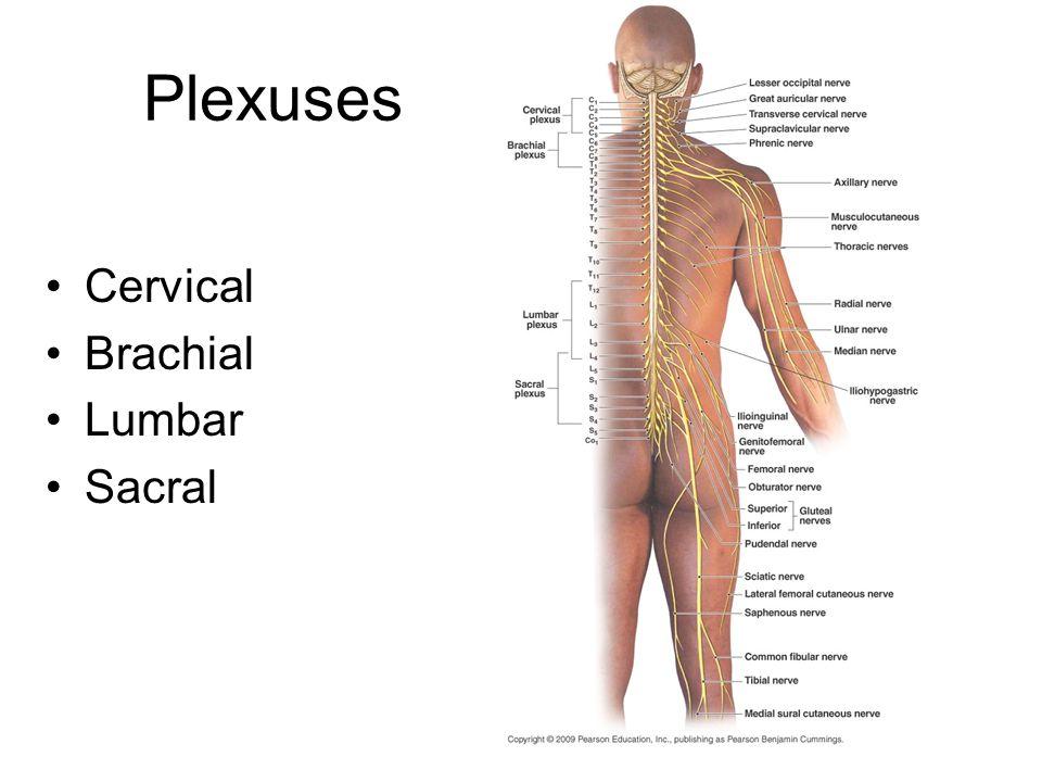 Plexuses Cervical Brachial Lumbar Sacral