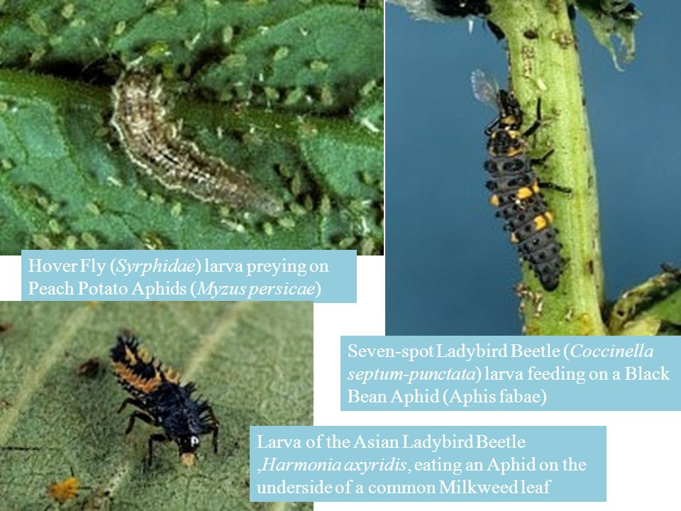Hover Fly (Syrphidae) larva preying on Peach Potato Aphids (Myzus persicae) Seven-spot Ladybird Beetle (Coccinella septum-punctata) larva feeding on a