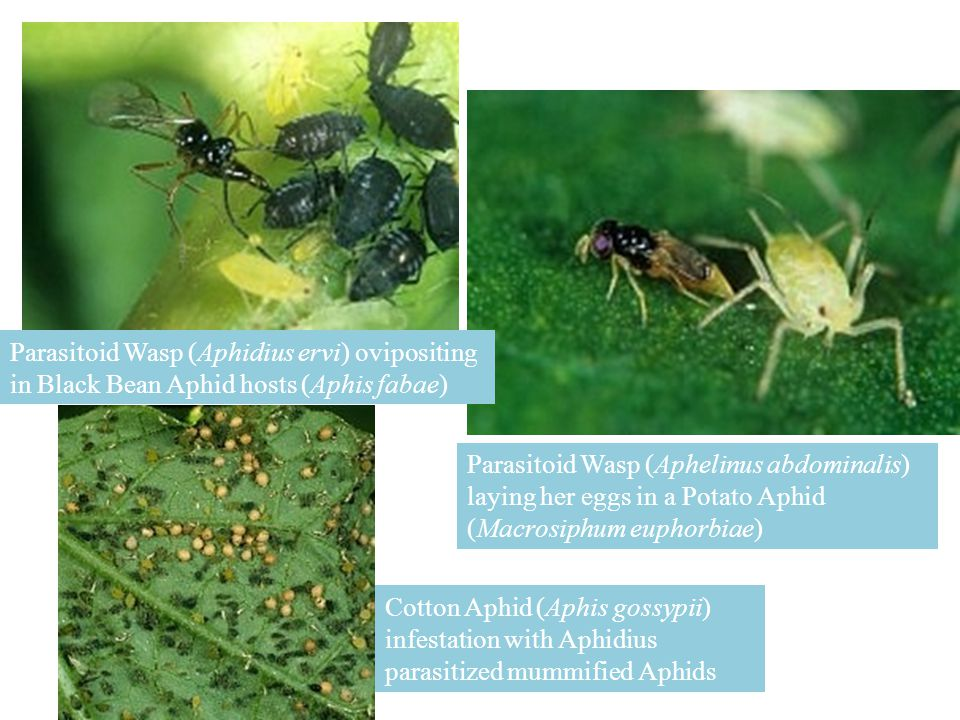 Parasitoid Wasp (Aphidius ervi) ovipositing in Black Bean Aphid hosts (Aphis fabae) Parasitoid Wasp (Aphelinus abdominalis) laying her eggs in a Potat