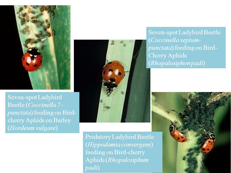 Seven-spot Ladybird Beetle (Coccinella 7- punctata) feeding on Bird- cherry Aphids on Barley (Hordeum vulgare) Seven-spot Ladybird Beetle (Coccinella