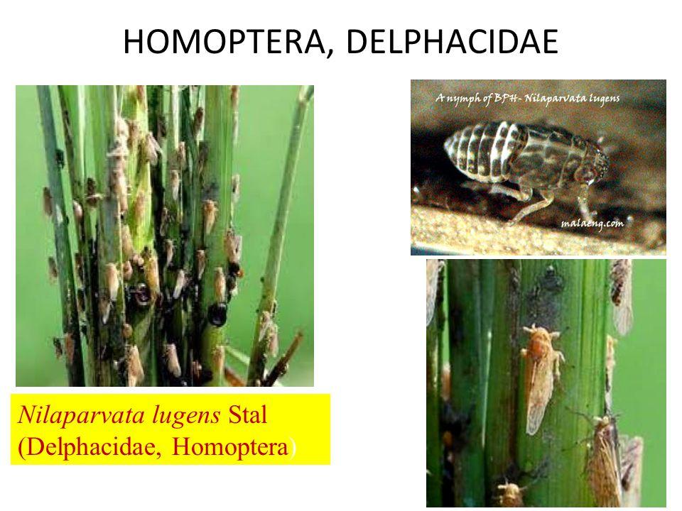 HOMOPTERA, DELPHACIDAE Nilaparvata lugens Stal (Delphacidae, Homoptera)