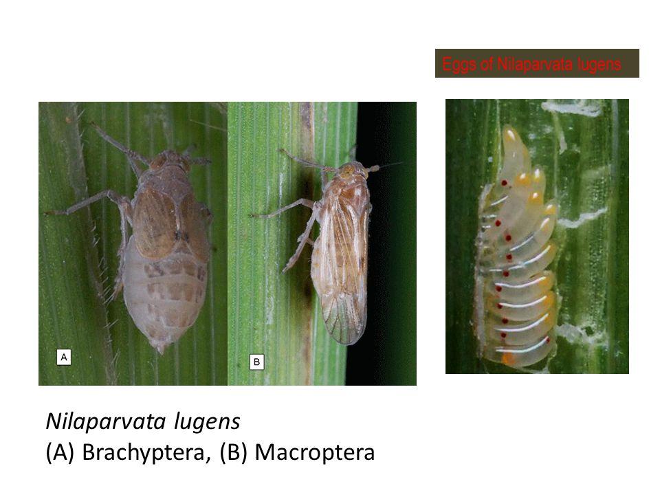 Eggs of Nilaparvata lugens Nilaparvata lugens (A) Brachyptera, (B) Macroptera