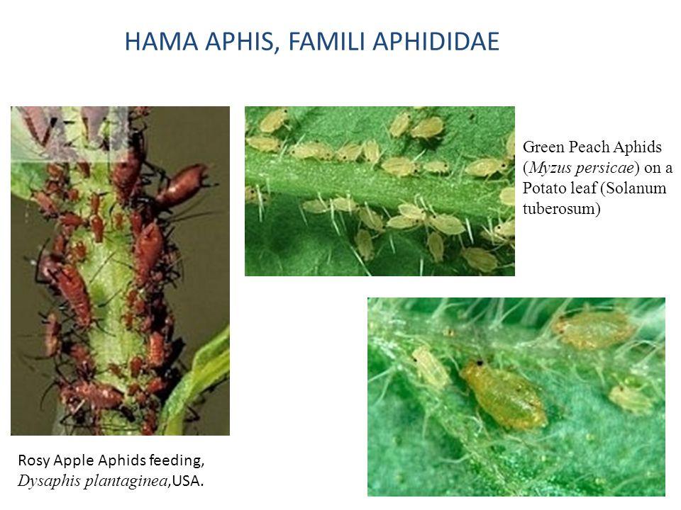 HAMA APHIS, FAMILI APHIDIDAE Rosy Apple Aphids feeding, Dysaphis plantaginea,USA. Green Peach Aphids (Myzus persicae) on a Potato leaf (Solanum tubero