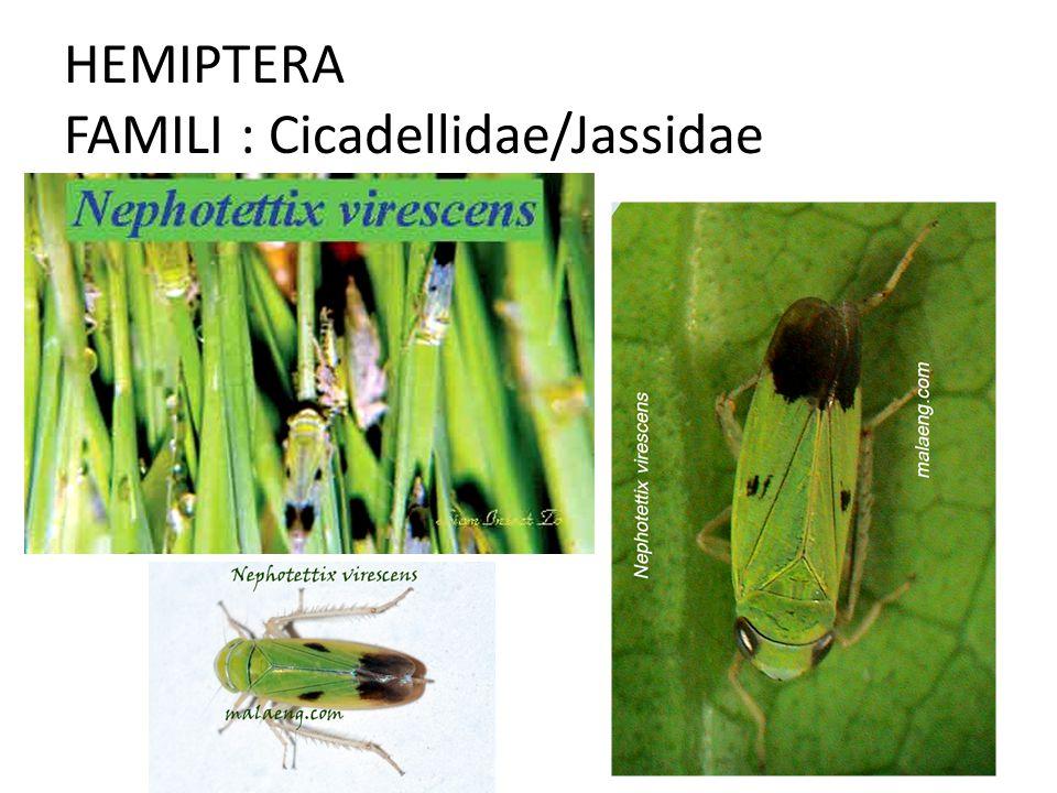 HEMIPTERA FAMILI : Cicadellidae/Jassidae