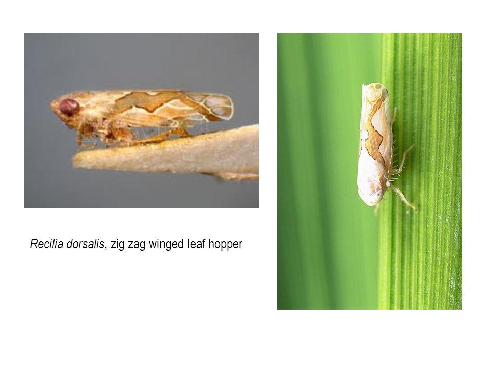 Recilia dorsalis, zig zag winged leaf hopper
