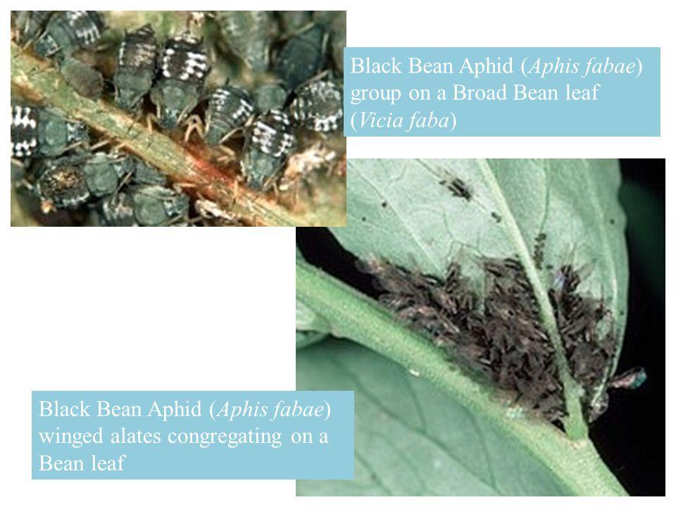 Ladybird Beetle (Harmonia axyridis) feeding on Aphids.