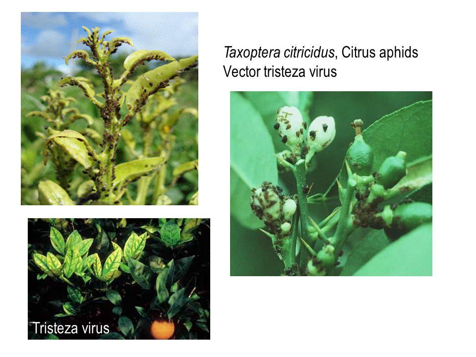 Taxoptera citricidus, Citrus aphids Vector tristeza virus Tristeza virus