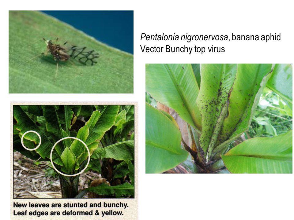 Pentalonia nigronervosa, banana aphid Vector Bunchy top virus