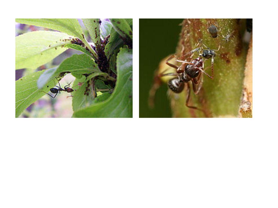 Velvet mite (Allothrombidium fuliginosum) attacking Spurge Aphid (Macrosiphum euphorbiae) Lacewing larva (Chrysopa perla) with an Aphid held in its mandibles Flower bug (Anthocoris nemorum) nymph feeding on black cherry aphid (Myzus cerasi)