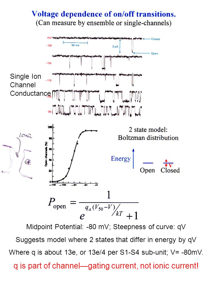 Midpoint Potential: -80 mV; Steepness of curve: qV Suggests model where 2 states that differ in energy by qV Where q is about 13e, or 13e/4 per S1-S4 sub-unit; V= -80mV.