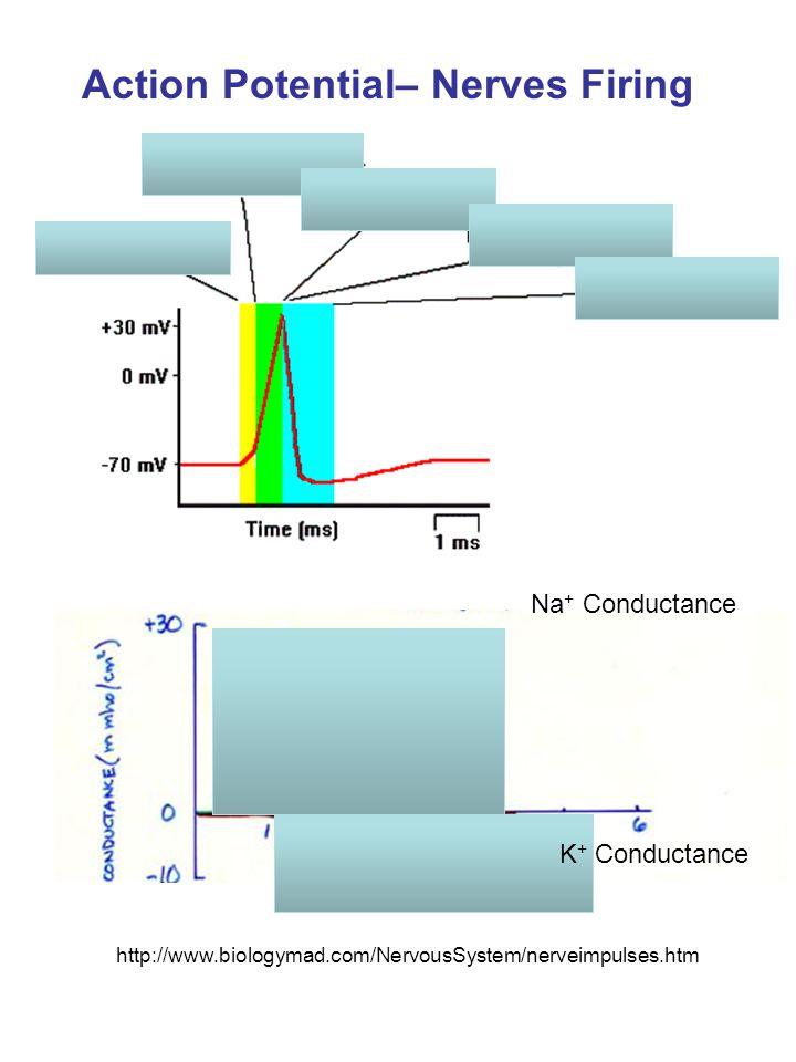 Action Potential– Nerves Firing http://www.biologymad.com/NervousSystem/nerveimpulses.htm Na + Conductance K + Conductance