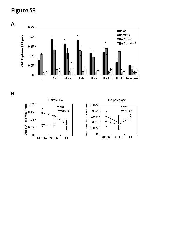 Figure S3 ChIP Fcp1-myc (% Input) rat1-1 A B Ctk1-HA / Rpb3 ChIP ratio Ctk1-HAFcp1-myc Fcp1-myc / Rpb3 ChIP ratio