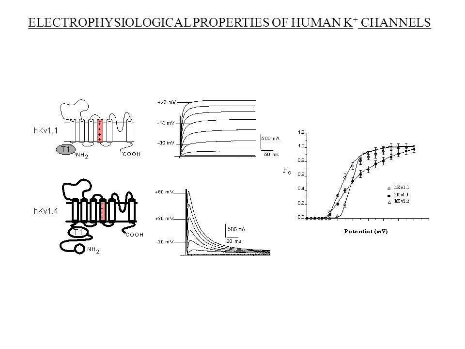 ELECTROPHYSIOLOGICAL PROPERTIES OF HUMAN K + CHANNELS