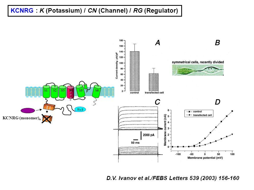 D.V. Ivanov et al./FEBS Letters 539 (2003) 156-160 KCNRG : K (Potassium) / CN (Channel) / RG (Regulator) ++++ T1 S1 S2 S3 S4 S5 p S6 Ball T1 KCNRG (mo