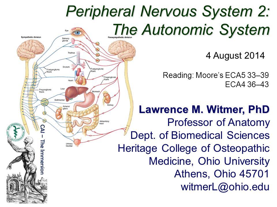 Peripheral Nervous System 2: The Autonomic System Lawrence M. Witmer, PhD Professor of Anatomy Dept. of Biomedical Sciences Heritage College of Osteop