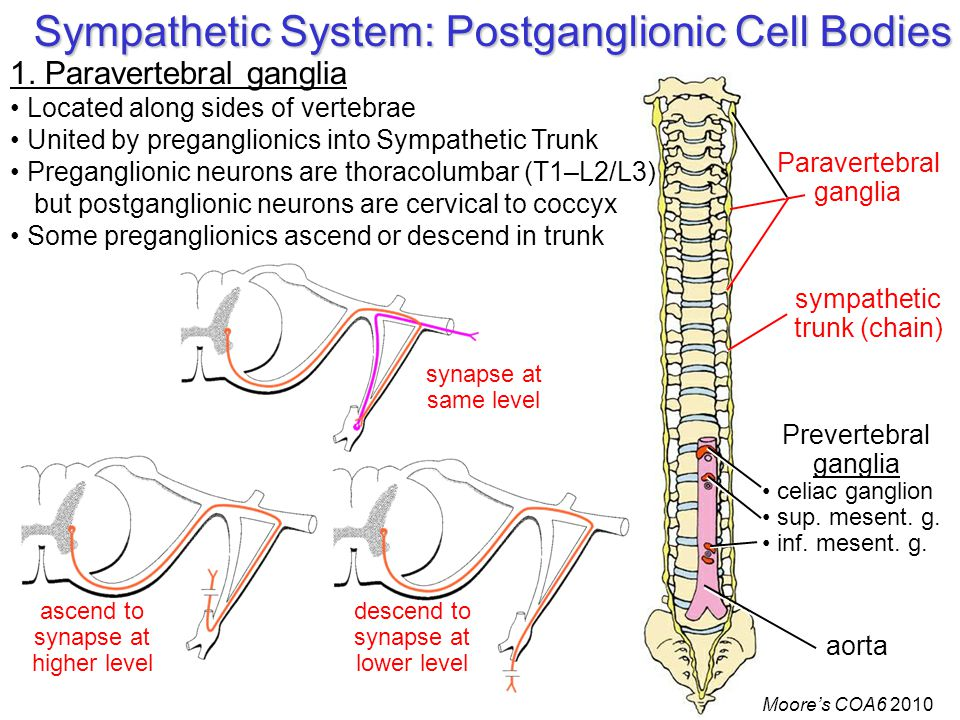 Sympathetic System: Postganglionic Cell Bodies Paravertebral ganglia Prevertebral ganglia celiac ganglion sup.