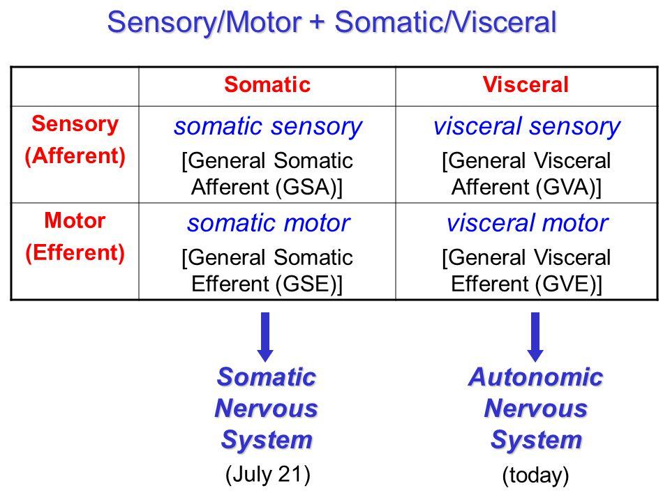Sensory/Motor + Somatic/Visceral SomaticVisceral Sensory (Afferent) somatic sensory [General Somatic Afferent (GSA)] visceral sensory [General Visceral Afferent (GVA)] Motor (Efferent) somatic motor [General Somatic Efferent (GSE)] visceral motor [General Visceral Efferent (GVE)] SomaticNervousSystem (July 21) AutonomicNervousSystem (today)