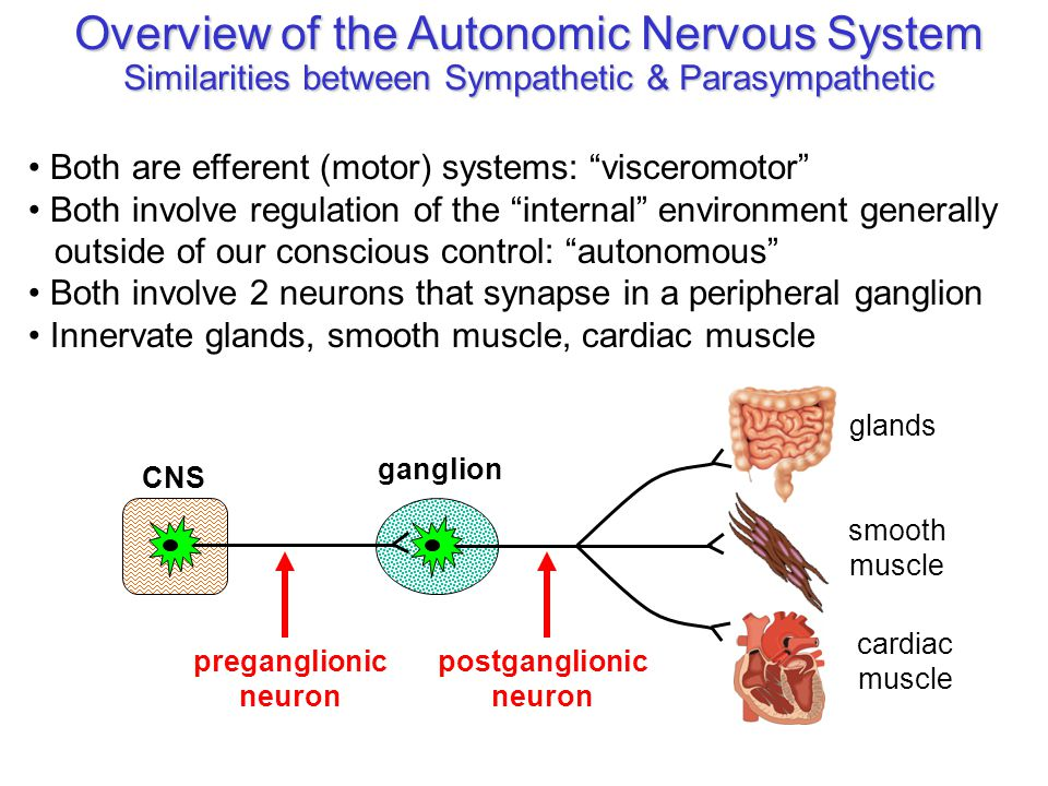 "Overview of the Autonomic Nervous System Similarities between Sympathetic & Parasympathetic Both are efferent (motor) systems: ""visceromotor"" Both inv"
