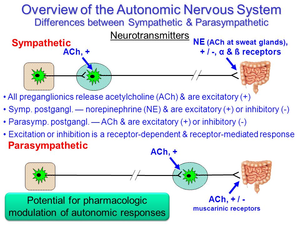 Parasympathetic Overview of the Autonomic Nervous System Differences between Sympathetic & Parasympathetic Neurotransmitters NE (ACh at sweat glands),