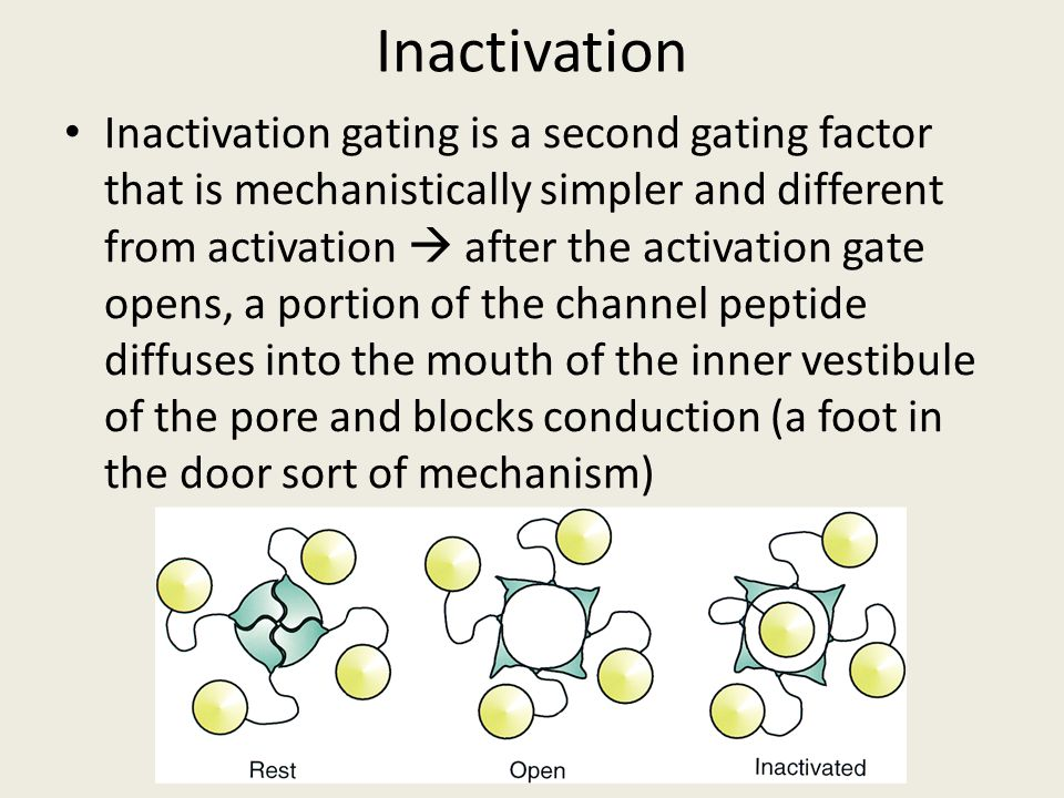 Inactivation Inactivation gating is a second gating factor that is mechanistically simpler and different from activation  after the activation gate o