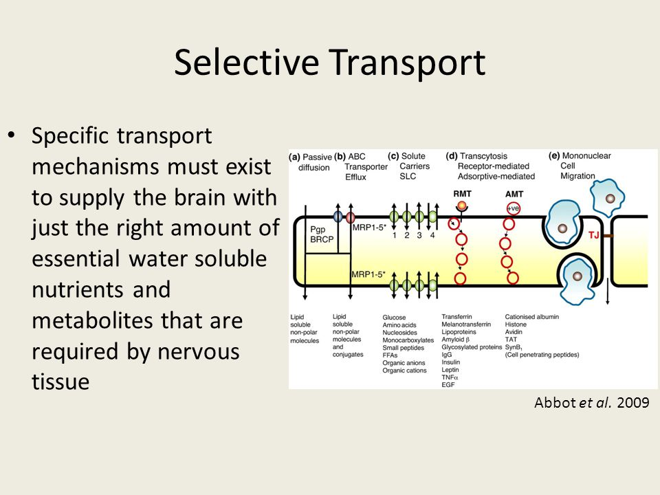 Selective Transport Specific transport mechanisms must exist to supply the brain with just the right amount of essential water soluble nutrients and m