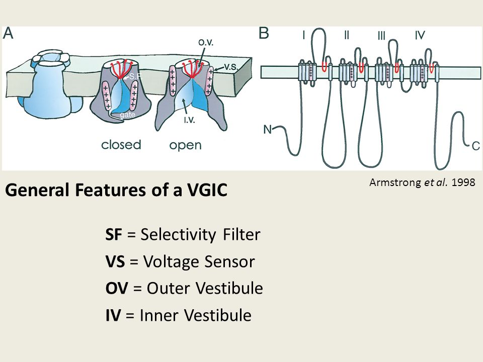 General Features of a VGIC SF = Selectivity Filter VS = Voltage Sensor OV = Outer Vestibule IV = Inner Vestibule Armstrong et al. 1998