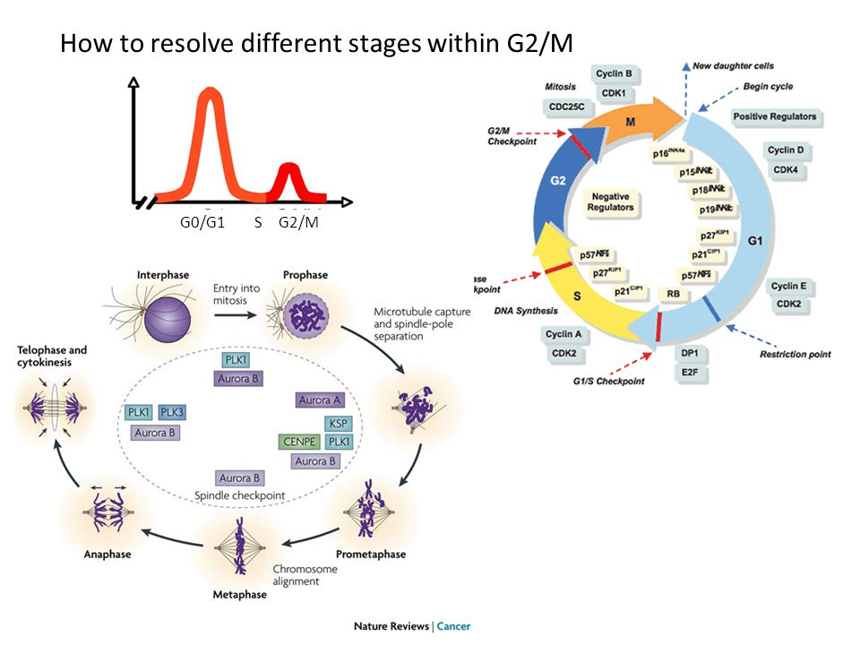 G0/G1SG2/M How to resolve different stages within G2/M