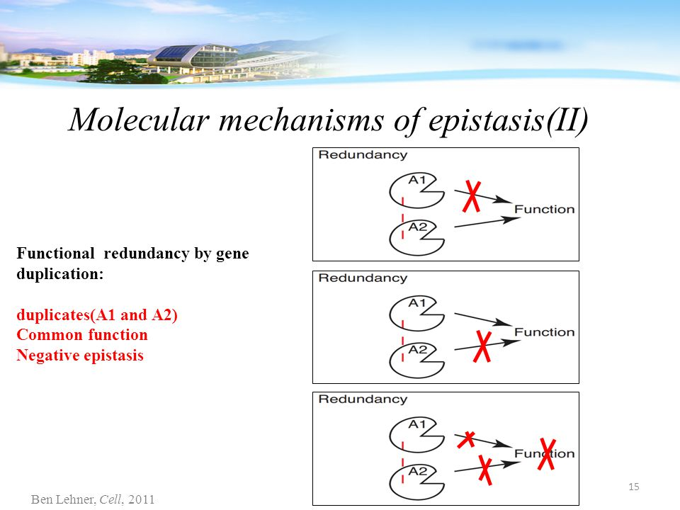 Molecular mechanisms of epistasis(II) Functional redundancy by gene duplication: duplicates(A1 and A2) Common function Negative epistasis Ben Lehner, Cell, 2011 15
