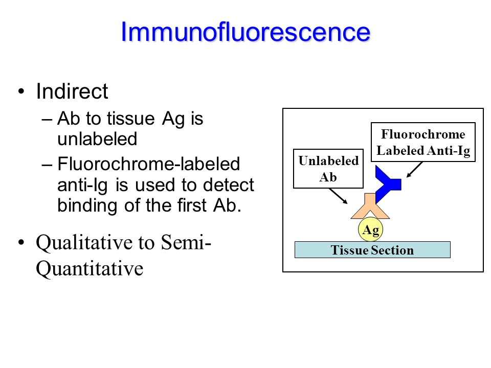 Immunofluorescence Indirect –Ab to tissue Ag is unlabeled –Fluorochrome-labeled anti-Ig is used to detect binding of the first Ab. Ag Fluorochrome Lab