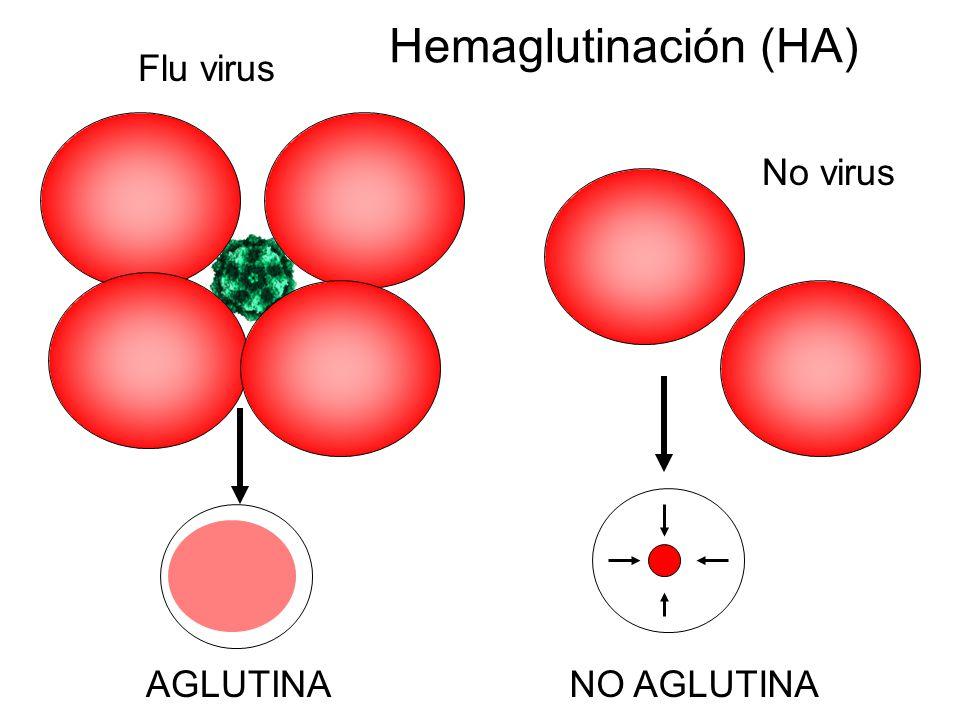 Hemaglutinación (HA) Flu virus No virus AGLUTINANO AGLUTINA
