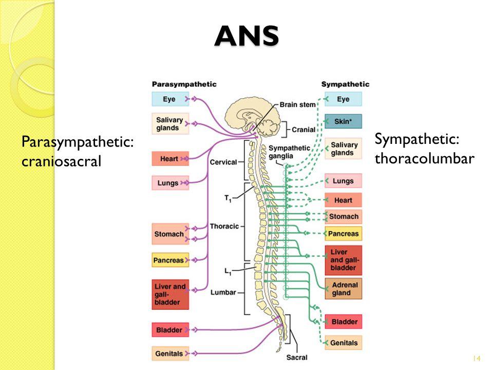 14 ANS Parasympathetic: craniosacral Sympathetic: thoracolumbar