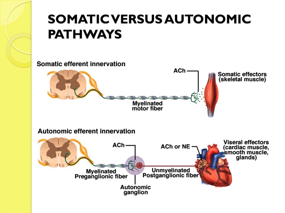 SOMATIC VERSUS AUTONOMIC PATHWAYS