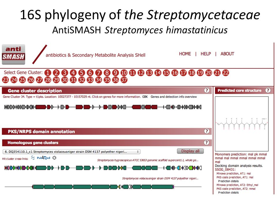 16S phylogeny of the Streptomycetaceae AntiSMASH Streptomyces himastatinicus