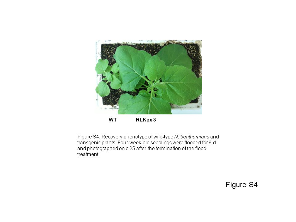 WT RLKox 3 Figure S4 Figure S4. Recovery phenotype of wild-type N. benthamiana and transgenic plants. Four-week-old seedlings were flooded for 8 d and