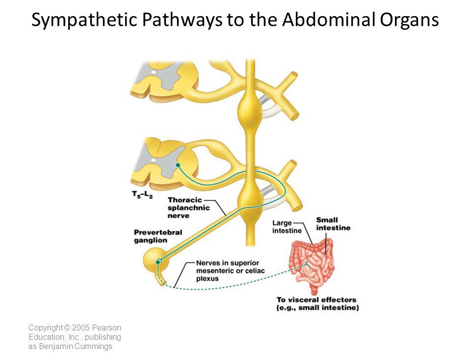Copyright © 2005 Pearson Education, Inc., publishing as Benjamin Cummings Sympathetic Pathways to the Abdominal Organs