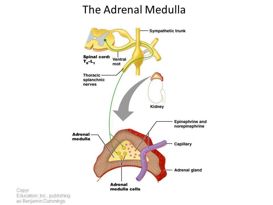 Copyright © 2005 Pearson Education, Inc., publishing as Benjamin Cummings The Adrenal Medulla