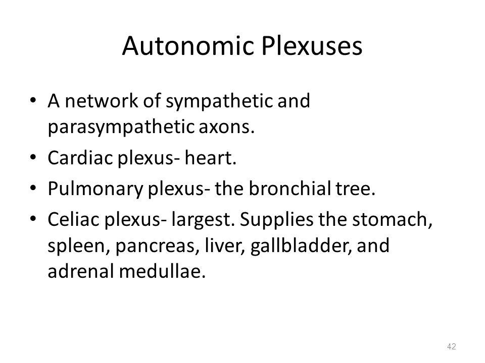 Autonomic Plexuses A network of sympathetic and parasympathetic axons. Cardiac plexus- heart. Pulmonary plexus- the bronchial tree. Celiac plexus- lar