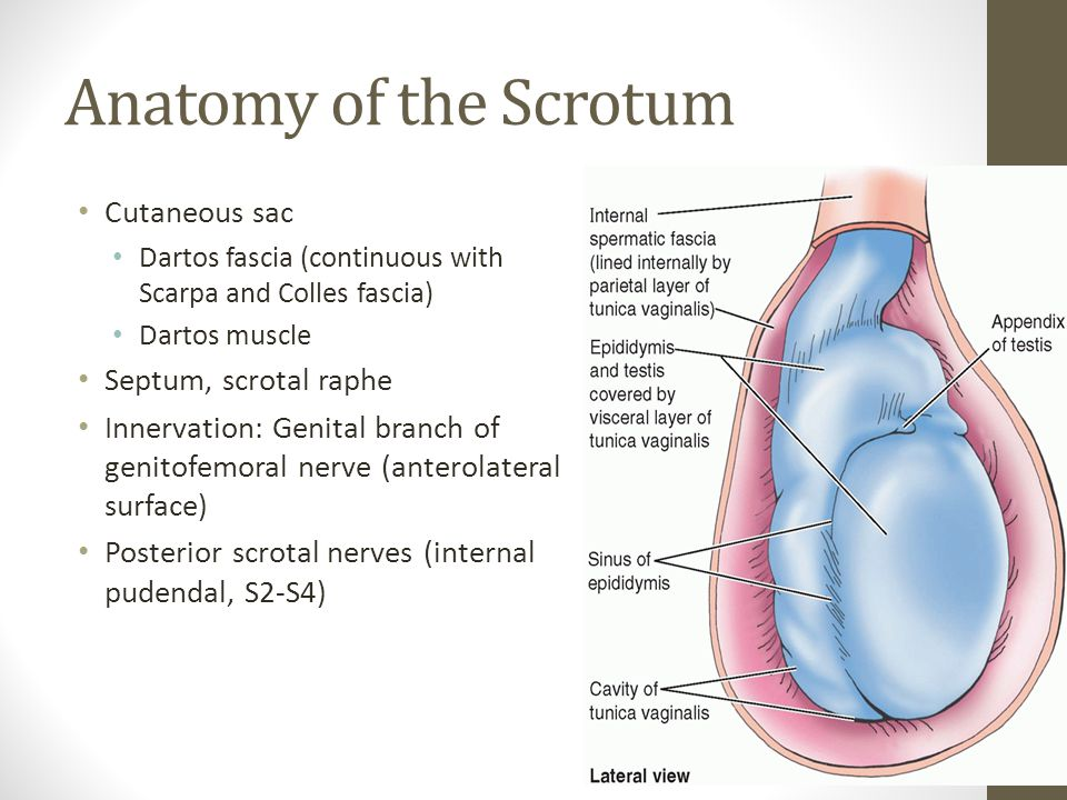 Anatomy of the Scrotum Cutaneous sac Dartos fascia (continuous with Scarpa and Colles fascia) Dartos muscle Septum, scrotal raphe Innervation: Genital